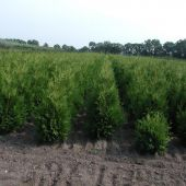 Thuja occidentalis 'Brabant' 3xv