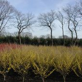 Hamamelis x intermedia in Sorten