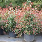 Photinia fraseri 'Red Robin & 'Camilvy'