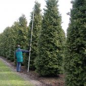 Thuja occidentalis 'Brabant' 6xv