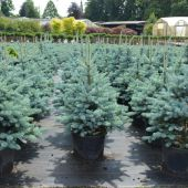 picea-pungens-'oldenburg'.jpg