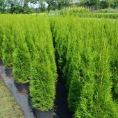thuja-occidentalis-'smaragd'.jpg