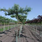 Dachformen von Platanus hispanica, Malus 'Evereste' & Acer p. 'Royal Red'