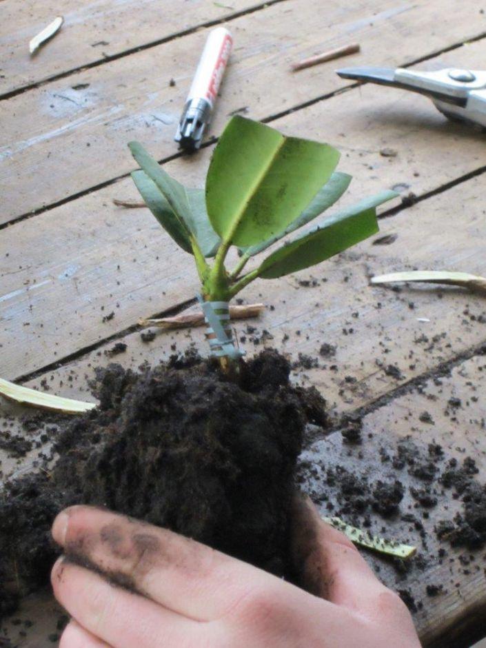 Gut bekannt Vermehrung « Marken Pflanzen aus Westerstede BH21